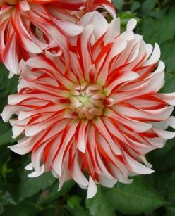 One pinner called this a Santa Claus Dahlia.  I need to find one for my red, white, and blue flower bed!: Dahlias, Beautiful Flowers, Blue Flower, Flowers, Pretty Flower, Striped Dahlia, Garden