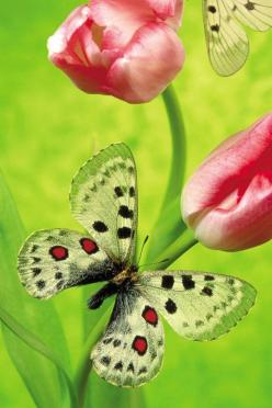 Only God could come up with all of these colors: Beautiful Butterflies, Butterfly, Tulip, Flutterby, Wallpapers, Flowers, Animal