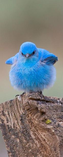 Oompa loompa doobeedeedoo, here's a bird that looks like violet beauregarde for you! (Mountain Bluebird). Thus explaineth the reason for the look!: Twitter, Bluebirds, Animals, Beautiful Birds, Angry Birds
