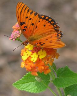 Orange butterfly: Beautiful Butterflies, Orange, Nature, Flutterby, Photo, Flower, Animal