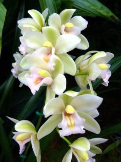 Orchid, Cymbidium, Sleeping Angel: Orchids, Beautiful Flowers, Flowers, Garden