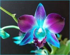 orchid: Tattoo Ideas, Blue Orchids, Tattoos, Purple Orchid, Dendrobium Orchids, Orchid Tattoo, Favorite Flower, Blue Dendrobium