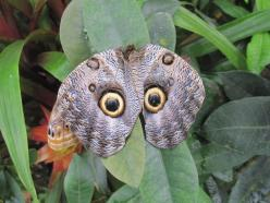 owl butterfly: Animals, Owl Eyes, Butterflies, Flutterby, Birds
