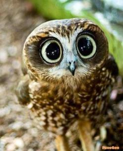 Owl... Cute ... ♥ Let's protect our world! Help saving the planet so we can all live to continue seeing these amazing animals! Help protect their home also our home!: Animals, Big Eyes, Baby Owl, Baby Animal, Amazing Animal, Cute Owl, Birds, Owls