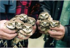 Owlets at the Burrow Owl Conservation Society in Oliver, British Columbia, Canada. Photograph © by Dave Belcher (Derby2 @ virtualtourist.com).: Babies, Animals, Babyowls, Baby Owls, Pet, Things, Birds, Hoot