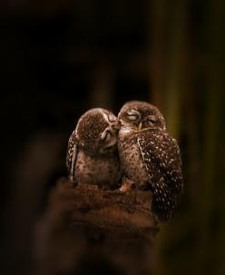 "Owls: ""A little affectionate nibble here and there..."": Owl Kiss, Kissing Owls, Animals, Sweet, Nature, Beautiful, Creatures, Owls Kissing, Birds"