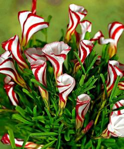 Oxalis Versicolor (Candy Cane Sorrel) is a unique bulb with really spectacular flowers! Very beautiful in full bloom, they are even more stunning when they have not quite opened up completely and display a striking red and white striped pattern. They can