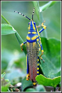 Painted grasshopper, India.  What colors!: 2213 Painted, Beautiful Bugs, Macro Photography, Photo Sharing, Colorful Grasshoppers