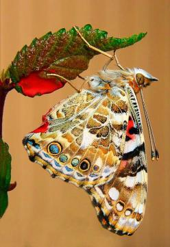 Painted Lady | David and Carol Kelly on Fine Art America: Beautiful Butterflies, Butterfly, Nature, Flutterby, Moth, Painted Ladies, Animal