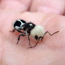 panda ant, Euspinolia militaris. AiN'T she cute? :P FROM: http://www.thefeaturedcreature.com/2013/09/this-panda-ant-will-bamboozle-you-about-its-true-identity.html: Velvet Ant, Animals, Ants, Pandas, Wingless Wasp