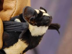 PANDA BAT  Researchers have hailed a bat that looks uncannily like a panda bear as 'the find of a lifetime'. The bat, discovered in South Sudan, is so rare researchers believe it is an entirely new genus. 'My attention was immediately drawn to