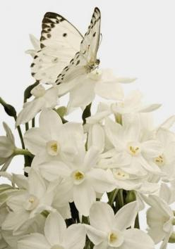 #PANDORAloves White butterfly and white flowers. Nature's exquisite gifts.: Beautiful Butterflies, White Flowers, Nature, Flutterby, Beauty, Moth, White Butterfly