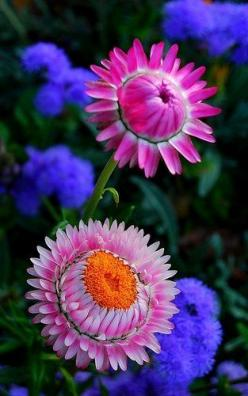 ~~Paper daisy, Rosy everlasting Flower by natureloving~~: Everlasting Flower, Color, Paper Daisy, Flowers Plants, Daisies, Flower Power, Pretty Flowers, Beautiful Flowers, Bloom
