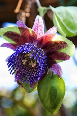 Passiflora triloba: watch out if you have kids or pets, it is poisonous. Do not put into planters on ground.: Flor De, Passiflora Triloba, Flowers Plants, Beautiful Flowers, Flower Power, Triloba Flower, Flowers Garden, Passion Flowers