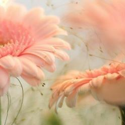 Peach gerberas.  Use a palette finder to make a quilt with these colors - gorgeous.: Pastel, Pink Flowers, Color, Beautiful, Peach, Flowers, Gerbera, Garden, Floral