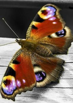 Peacock Butterfly; by Paul Moore: Butterfly, Butterflies