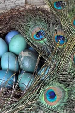 Peacock eggs and some eye-feathers in the nest: Peacock Feathers, Peacocks, Blue Eggs, Color, Beautiful, Peacock Eggs, Pretty Peacock, Things Peacock, Birds