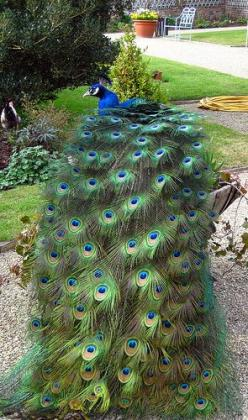Peacock feathers by janined, via Flickr: Amazing Peacocks, Birds Our Feathered, Peacocks Birds, Photography Peacocks, Beautiful Birds, Birds Peacocks, Peacock Feathers Beautiful, Animal