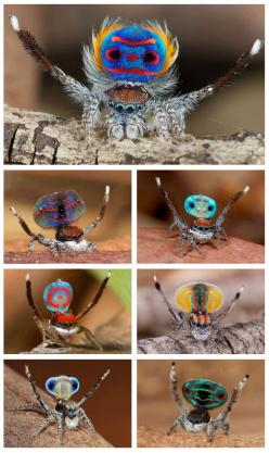 Peacock Jumping spiders (Maratus spp.) So scary!: Peacocks, Nature, Jumping Spiders, Spider Maratus, Peacock Spiders, Animal