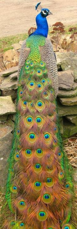 peacock photographed by Keri Fines, 2012 by carter flynn: Animals, Peacocks, Pavo Real, Nature, Color, Peacock Bird, Beautiful Birds, Beautiful Peacock