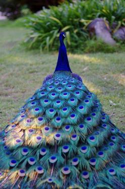Peacock plumage by Holly Burgess.: Animals, Peacocks, Nature, Color, Beautiful Birds, Beauty, Photo, Beautiful Peacock