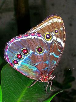 ~~ peacock wings  - Blue Morpho ~~: Beautiful Butterflies, Peacock Wings, Blue Morpho, Animal