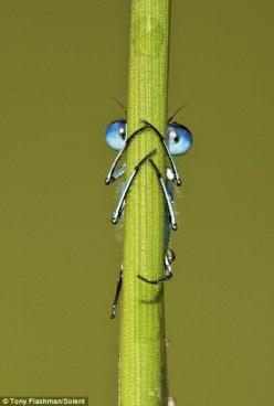 Peek-a-bug: This little Damselfly was caught hiding behind a blade of grass in Fordwich Lakes, near Kent: Animals, Nature, Bugs, Creature, Dragonfly, Peek A Boo, Photo, Eye