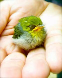 "(peep)  It's the same shape of those ""angry birds"" !!!: Animals, Mejiro Bird, Birdie, Little Bird, White Eye, Beautiful Birds, Angry Birds"