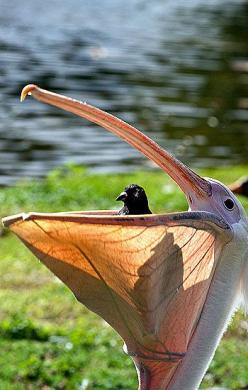 Pelican and Friend: Pigeon, Animals, Nature, Funny, Birds, Photo