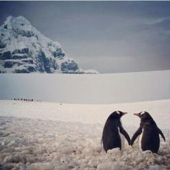 Penguin heart. Natural, and has to be the most beautiful picture ever recorded: Penguin Love, Beautiful Picture, Beautiful Inspiration, Cute Penguins, Adorable Animals, Sweet Penguins, Penguin Heart, Gentoo Penguins, Penguins 3
