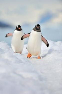 Penguin Lines - application permits users to rate the pick-up lines based on the level of success for editing, changes, and self-congratulation. https://itunes.apple.com/us/app/penguin-lines/id667927193?mt=8: Birds Penguins, Penguins Click, Nature, Happy