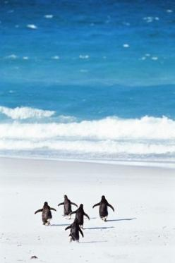 "Penguins  (Can you remember yelling as you ran to the water, ""last one in is a rotten egg"" ?): Surfs Up, Animals, Rotten Egg, Creature, Sea, Penguins Running, Beach, Photo"