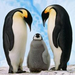 Penguins mate for life <3: Animals, Nature, Baby, Things, Families, Emperor Penguins, Birds