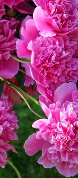 Peonies, so delicate and lovely.: Favorite Flowers, Pink Flowers, Beautiful Flowers, Bloom, Garden, Peonies My Favorite, Pink Peonies, Flower