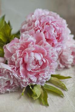 Peony. Never been that big a fan of flowers before... and then I discovered these beauties. In love.: Rose, Spring Wedding, Beautiful Flowers, Flowers, Garden, Pink Peonies, Floral, Favorite Flower