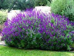 Perennial & Annual parings: Salvias. Upright, spiky-growing perennial salvias look good next to anything with mass, including cardoon, spider flower, cosmos, and annual black-eyed Susan. Try creeping zinnia in front as a groundcover.: Mexican Sage, Me