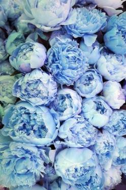 Periwinkle blue peonies. Favorite flower! These just made me gasp, they are gorgeous!!!: Purple, Color, Wedding, Bloom, Flowers, Garden, Peonies, Floral, Favorite Flower