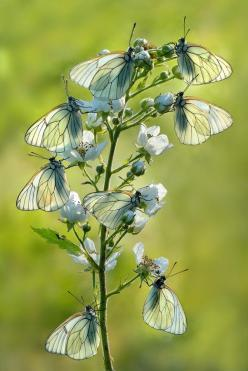 ~~petals ~ aporia crataegi butterflies by mauro maione~~: Photos, Animals, Butterflies, Flutterby, Flowers, Mother Nature, Dragonflies