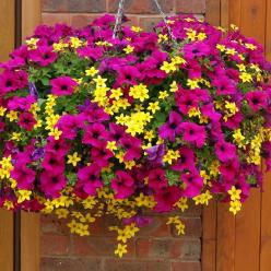 Petunia and Bidens Champagne and Gold Cocktail Mix - Patio Plants - Van Meuwen: Hanging Flower Basket, Garden Ideas, Flower Baskets, Hanging Flowers, Hanging Baskets, Container Gardening, Flower
