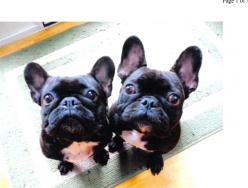Phila, PA- Oscar & Olivia - 2 4 yr old French bulldogs- both are fixed, healthy, happy, and too cute for words. Pls go to atpar.org for details.  They must be adopted together and  within 30 miles of Philadelphia- NO EXCEPTIONS! Thanks!: French Bulldo