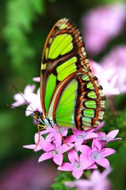 Philaethria Dido, Malachite Butterfly: Beautiful Butterflies, Animals, Nature, Flutterby, Beauty, Photo