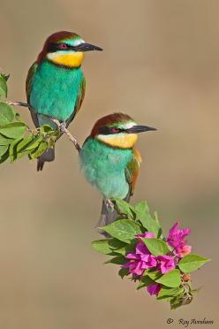 photo: Bee-eaters .. luv the colors ... would be a great design for a card ...: Colorful Birds, Google, Beautiful Birds, Photo, Royavraham, Animal