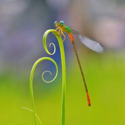 photo by nordin seruyan: Nordin Seruyan, Photos, Animals, Nature, Insects, Dragonfly, Dragonflies