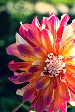 Photo by Wladimair G: Photos, Nature, Dahlias, Pretty Flowers, Flower Power, Beautiful Flowers, Garden, Photography