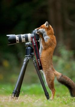 : Picture, Photographers, Photos, Animals, Camera, Funny, Foxy, Foxes, Photography