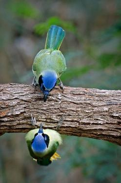 Piiiu!...Wow Listen Brother, What Do You Think Of This Place ?...Samissomar´s Pinterests Are Fantastic !... http://samissomar.wix.com/Soundscapings: Kenny Salazar, Animals, Green Jays, Birdie, Kennysalazar, Beautiful Birds, Greenjays, Photo