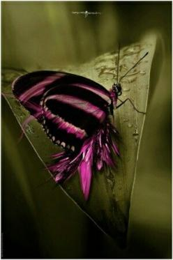 Pink & Black Butterfly: Beautiful Butterflies, Butterflies Dragonflies Moths, Flying Beauty, Butterflies Moth, Pink Black