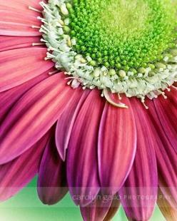 Pink and green together!!  Favorite!: Pink Flowers, Inspiration, Color Combos, Pink Green, Beautiful Flowers, Beauty, Green Daisy, Garden, Favorite Flower