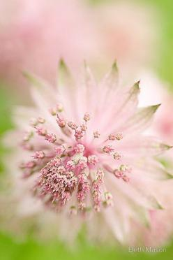 Pink Astrantia by Beth Mason: Pink Flowers, Color, Soft Pink, Green, Beautiful Flowers, Flowers, Garden, Pink Astrantia
