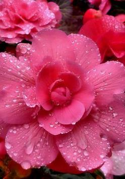 Pink Begonias Glory to God for the beauty He has created and allows us to enjoy! He is Great and because of that, life is good! We are all blessed!: Pink Flowers, Pink Begonias, Pretty Pink, Pretty Flowers, Hot Pink, Beautiful Flowers, Bloom, Flowers Gard